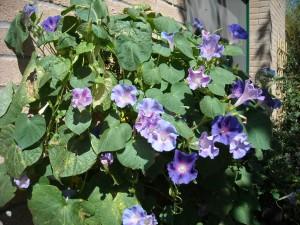 fiori viola grande